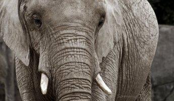 African_Elephant_by_sammyc0530