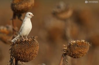 albino_sparrow_by_bogdanboev-d47brz6