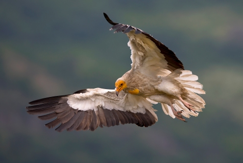 egyptian_vulture_by_bogdanboev-d8btf9e