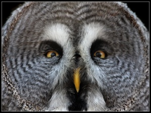 Great_Grey_Owl_by_cycoze