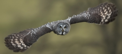 Great_Grey_Owl_by_KevLewis