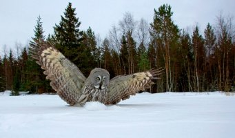 great_grey_owl_in_wideangle_by_mateuszkowalski-d4j2cle