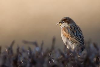 House_Sparrow_by_c1n3kk