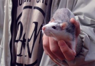 Rat_by_Krendel