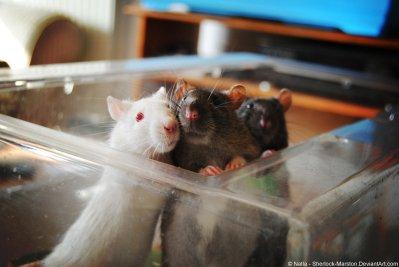 rat_by_sherlock_marston-d68yppk