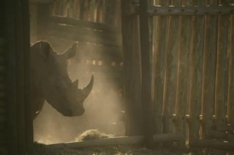 Rhino-horn-siloutte-Beverly-Joubert
