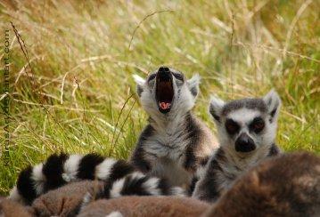 the_yawning_catta_club_by_kiarasart-d4m6h5q