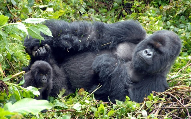 gorilla-adult-baby_2410076k