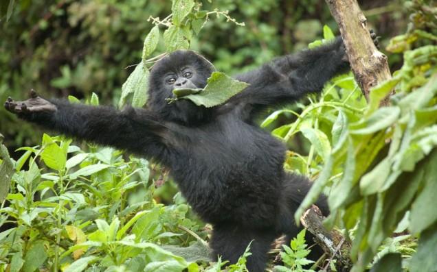 gorilla-baby-tree_2410073k
