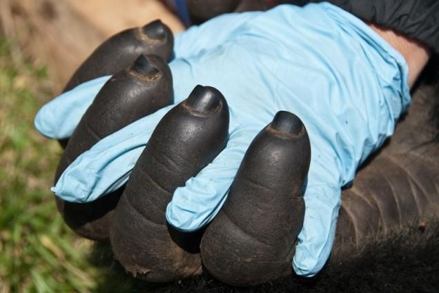 gorilla-hand-in-ha_2410046k