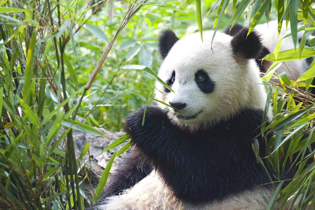 10 Curiosidades Del Oso Panda