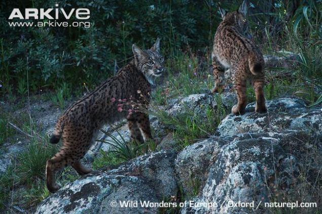 Female-Iberian-lynx-with-juvenile-female-Iberian-lynx-climbing-rock