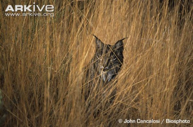 Iberian-lynx-in-long-grass