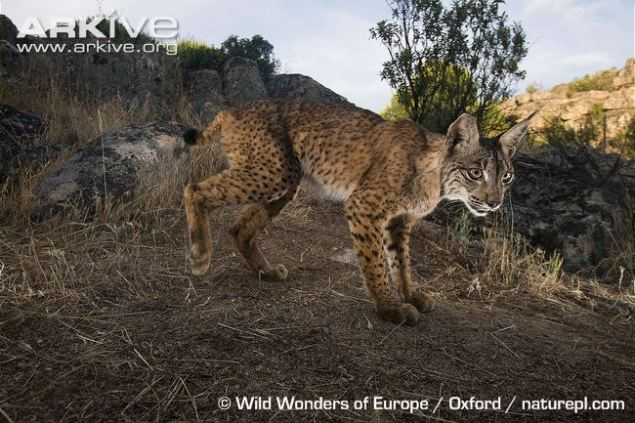 Male-Iberian-lynx-side-profile