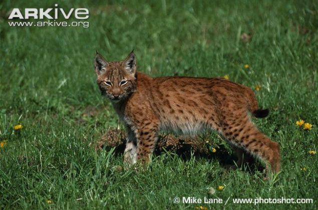 Young-Iberian-lynx