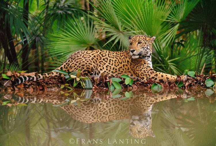 el jaguar y el leopardo solo tienen una cosa en común, y eres tú