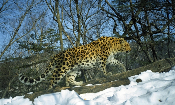 good-news-for-russian-conservationists-amur-leopard-numbers-touch-higher-points-in-the-graph