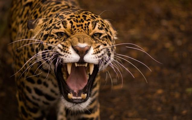 jaguar-wide-2