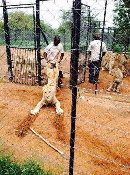 lion-farm