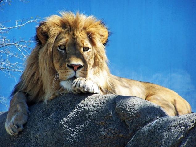 lion_by_jonescrusher