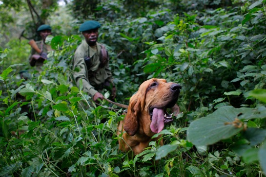 FILE - In this picture taken Sunday Aug. 2, 2012, Virunga National Park rangers follow Dodi the two-year-old blood hound during a search and rescue exercise in the park, some 45 kms north of Coma, eastern Congo. Virunga National Park is where virtually every rebellion in eastern Congo in the past 30 years has started, and its endangered mountain gorillas, are facing increasing threats.