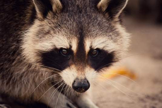 raccoon_by_dynnnad