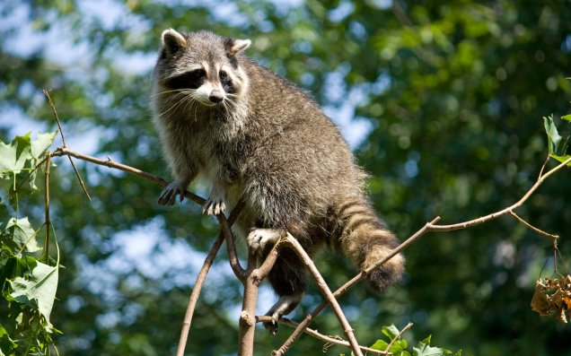 raccoon_by_jay_co
