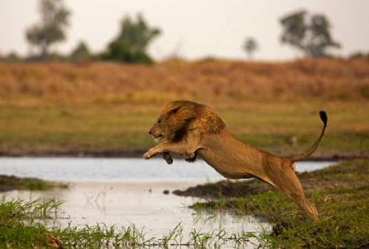 A male lion leaping through the air in an attempt to jump over the water channel in the floodplain in Duba Plains, Botswana.