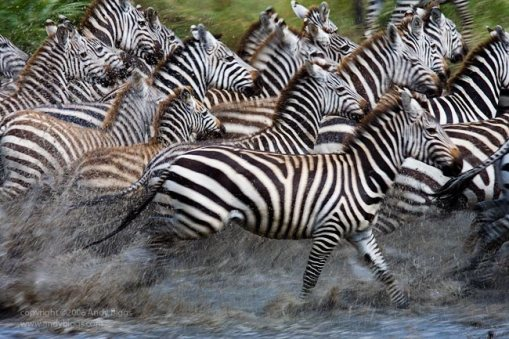 Blurred running zebras at a watering hole, Serengeti National Park, Tanzania.