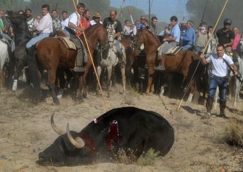 Torneo del toro de Vega, en Tordesillas Valladolid. 14 septiembre 2010. Foto: PACMA HANDOUT/RESTRICTED TO EDITORIAL USE / NO SALES/ NO ARCHIVES