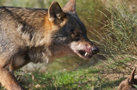 Iberian Wolf (Canis lupus sygnatus) Alpha male feeding on deer Controlled conditions. Granada, Spain