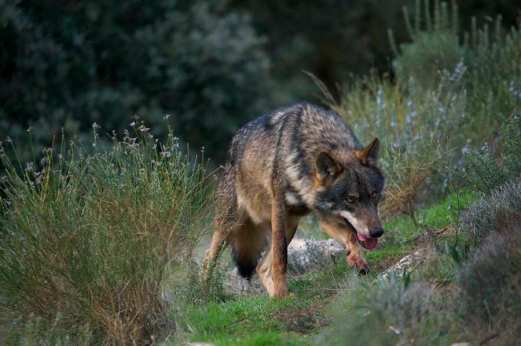 Iberian Wolf (Canis lupus sygnatus) Alpha male in perfect