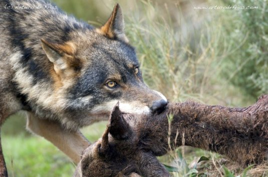 Wolf_and_Roe_Deer