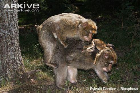 barbary-macaque-interaction