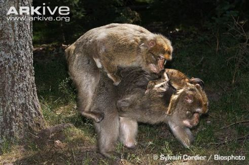 barbary-macaque-interaction