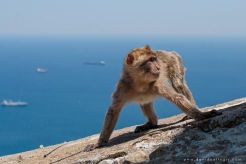 macaco-gibraltar-mar