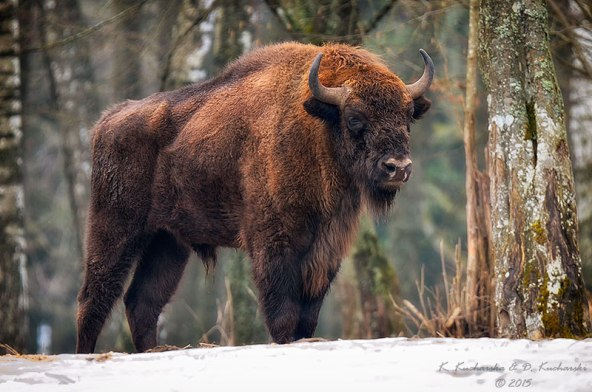 bison_in_the_snow_by_dark_raptor-d8u27yc (1)
