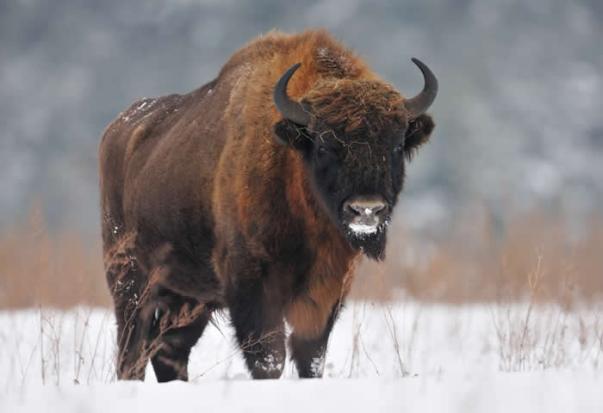 bisonte4