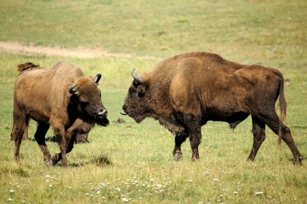 European_bisons