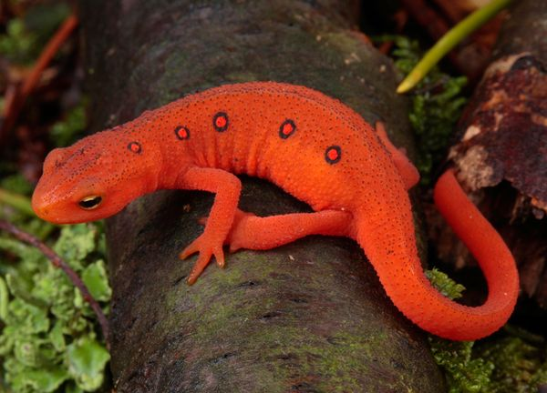 fw-red-eft-crawling-1066587_31747_600x450.jpg