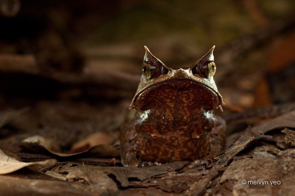 malayan_horned_frog_by_melvynyeo-d7tydhj.jpg