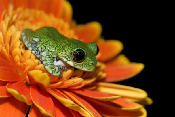 peacock_frog_on_orange_flower_by_anginelson.jpg