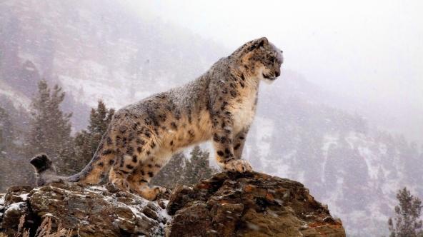 snow-leopard-watch