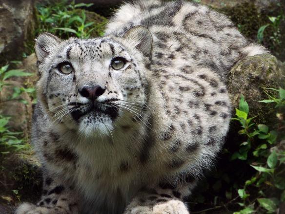 snow_leopard_6_by_sheltiewolf-d7wz8l5