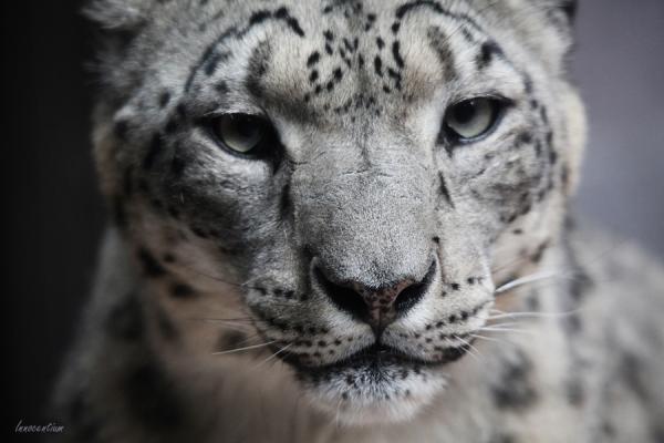 snow_leopard_by_innocentium-d68h54s