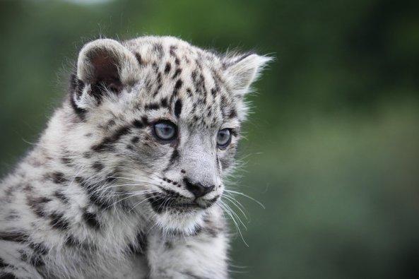 snow_leopard_cub_by_snowporing-d2xhila
