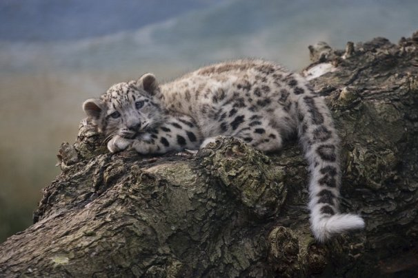 snow_leopard_cub_by_tygrik