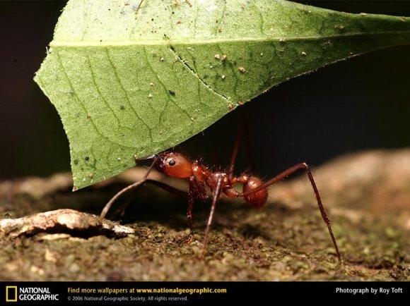 leaf-cutter-ant.jpg