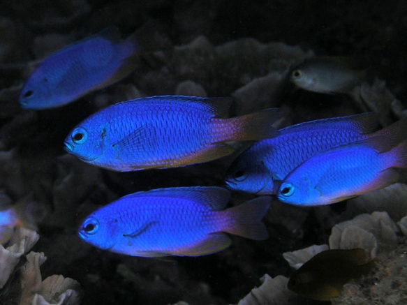 Neon_damselfish.jpg