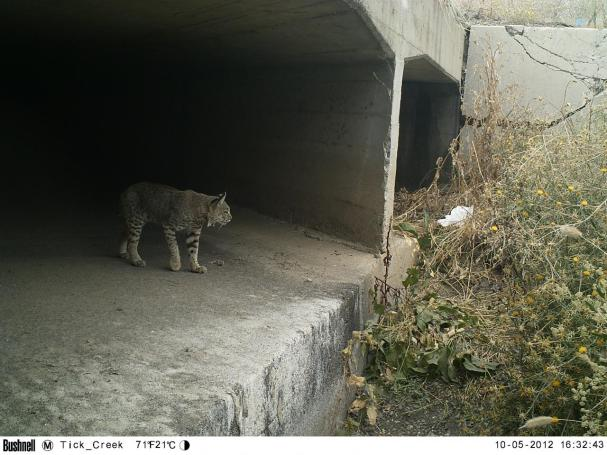 Bobcat_at_Hwy_101_Tick_Creek_Culvert_10-6-2012b.362123658_large.JPG